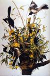 Northern Mockingbird, Audubon 1827.jpeg